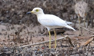 Albino Thick-knee