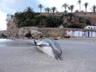 dead dolphin, Nerja